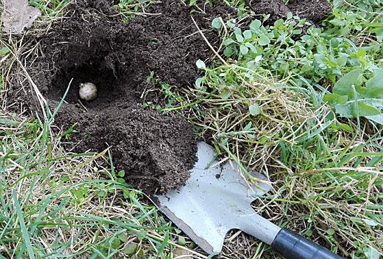 traubenhyazinthen pflanzen