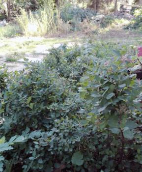 rosa zwergspiere