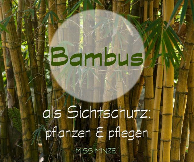 Bambus Als Sichtschutz Ein Abenteuer Mit Ungewissem Ausgang Miss