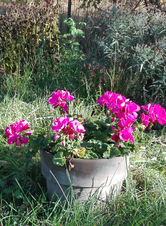 geranien, pelargonien pflanzen pflegen