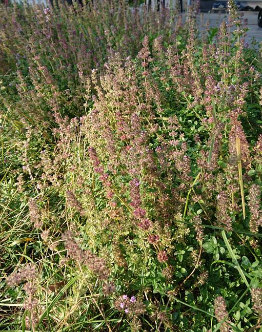 duftender Feldthymian als Bodendecker