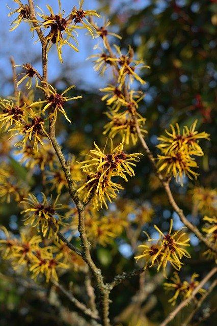 welche sträucher blühen im winter