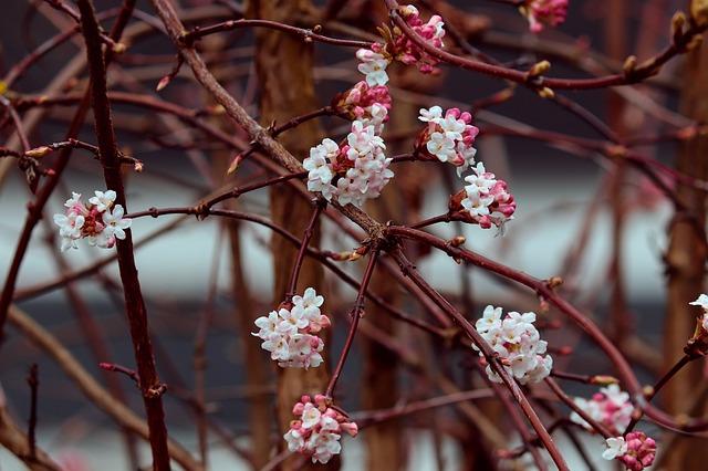 winterschneeball winterblüher