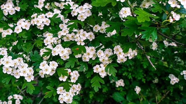 weißdorn heilpflanze