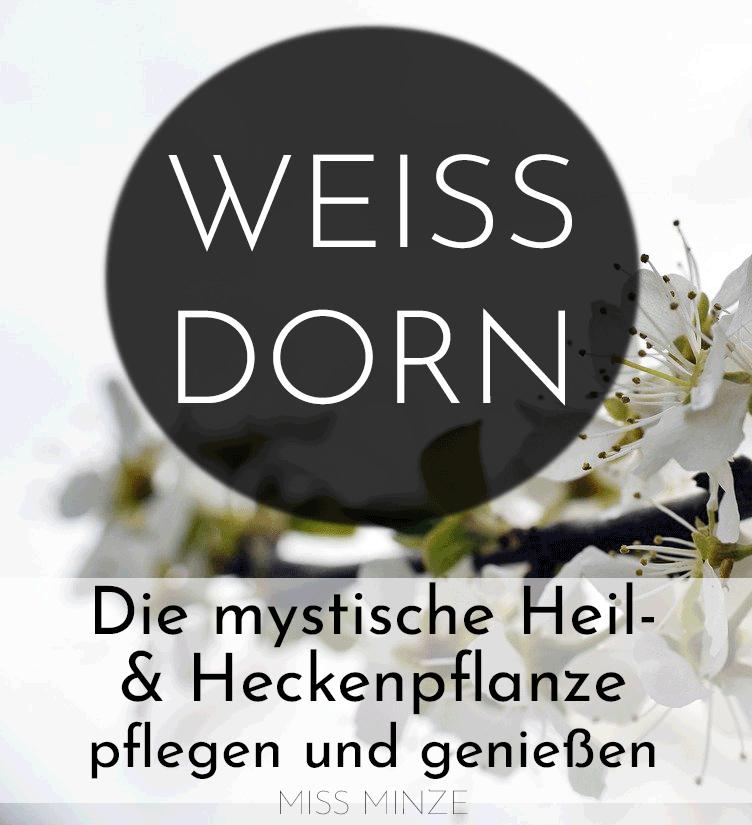 Weißdorn, die mystische Heil- und Heckenpflanze