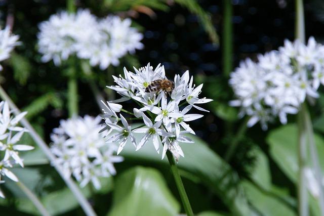 blühender Bärlauch | Allium