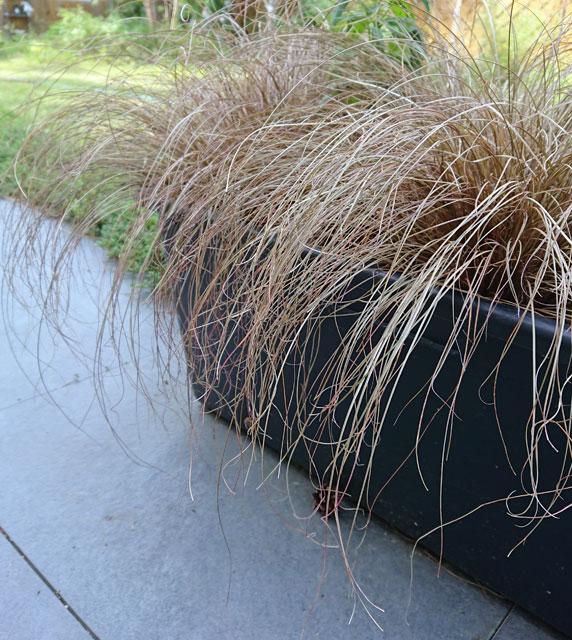 Fuchsrote Segge (Carex)