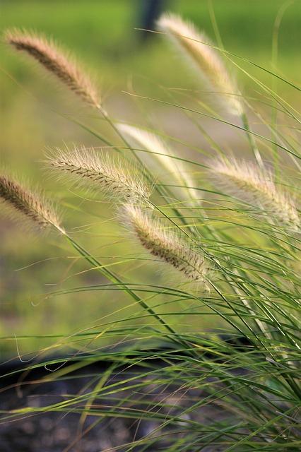 Lampenputzergras gräser für trockene und sonnige standorte
